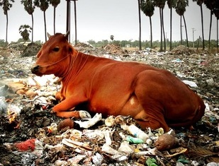 The Plastic Cow
